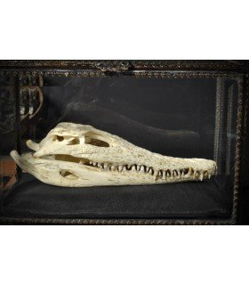 Crocodile skull curiosity Subject
